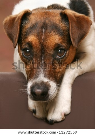 cute Jack Russell Terrier with his head down on his paws