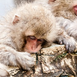 Cute Japanese macaque sleeping in a hot spring. Snow monkey (Macaca fuscata) from Jigokudani Monkey Park in Japan, Nagano Prefecture.