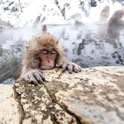 Cute Japanese monkey sleeping in a hot spring, Japan, Nagano Prefecture.