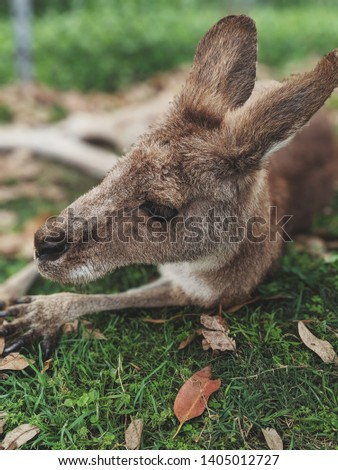 Cute kangaroo's snout in closeup with grass and withered foliage around.