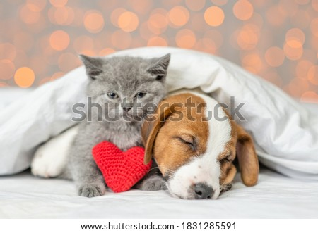 Cute kitten and jack russell terrier puppy sleep together with red heart under warm blanket on a bed on festive background. Valentines day concept Stock fotó ©