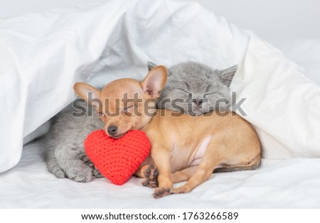 Cute kitten and Toy terrier puppy sleep together with red heart under warm blanket on a bed at home. Valentines day concept Stock fotó ©