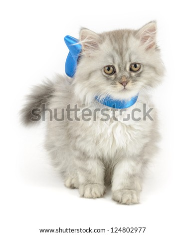 cute kitten (british longhair) with blue ribbon, over white background