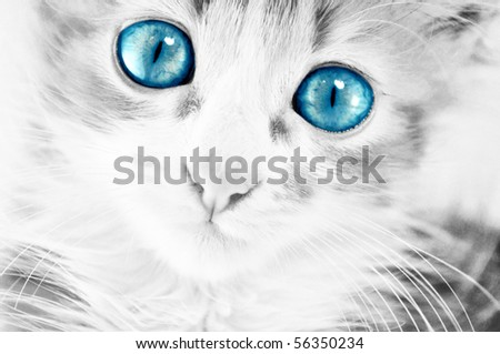 cute kitten in black and white with blue eyes
