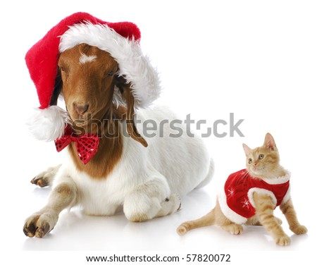 cute kitten in christmas dress looking at goat dressed up in santa hat