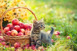 Cute kitten in the garden near basket with red apples