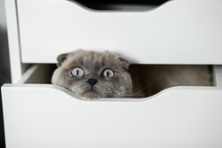 cute kitten is hiding in a white drawer. white Ragdoll kitten playing at home, inside room. Scottish fold