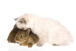Cute kitten kissing two bunnies, on white background