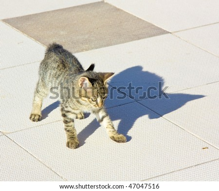 Cute Kitten Playing with his naughty Shadow