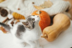 Cute kitten portrait on background of autumn leaves, pumpkin, cozy sweaters on white wood. Adorable white and grey cat in fall room. Pet and autumn season. Happy Thanksgiving and Happy Halloween
