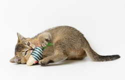 cute kitten Scottish golden chinchilla straight breed, cat playing  with a toy on white background
