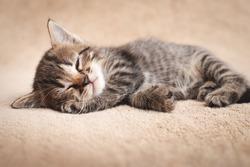 Cute kitten tabby color slumbering on beige carpet.