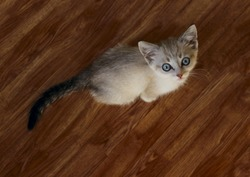 Cute kitten with blue eyes. Little Kitten. Cute Kitten. kitten sitting on the floor and looking up, top view.