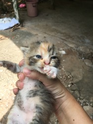 Cute kitten with colorful fluffy hairy body , putting hand on her mouth, is held in someone's hand as being checked for her general health condition