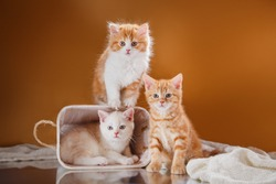 cute kittens play. Pet in the Studio