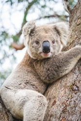 Cute koala hugging eucalyptus tree branch