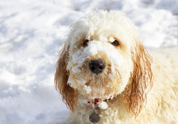Cute labra doodle puppy with snow on face