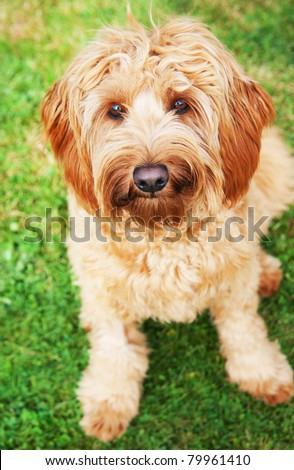 Cute Labradoodle Dog Sitting on Green Grass