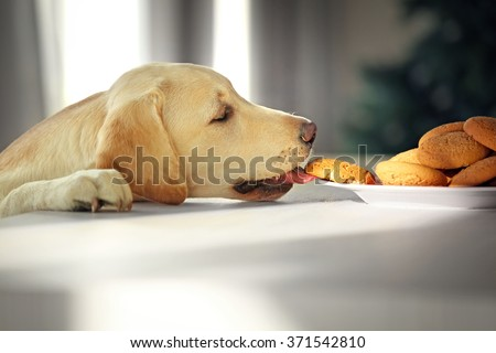 Stock Photo Cute Labrador dog eating tasty cookies on kitchen table, closeup