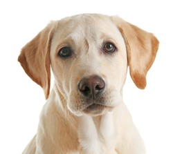Cute Labrador dog isolated on white