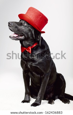 cute labrador in top hat and bow tie