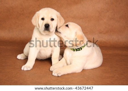 Cute labrador puppies snuggling together.