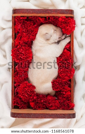 Stock Photo Cute labrador puppy dog sleeping in a box with flowers - top down view