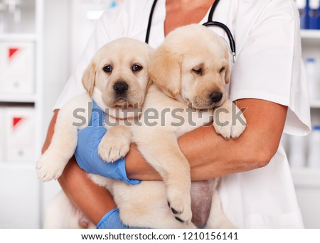 Cute labrador puppy dogs in the arms of veterinary healthcare professional - getting ready for their first vaccine