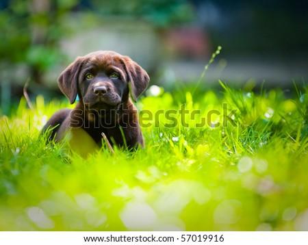 Cute labrador puppy in green grass on a summer day