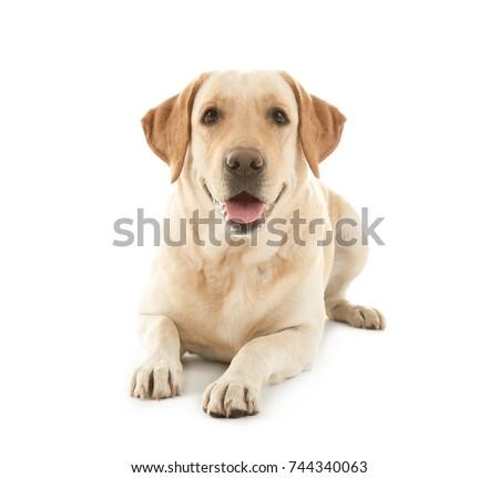 Cute Labrador Retriever on white background