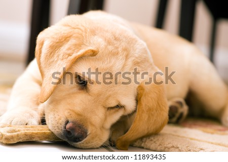 cute yellow lab dogs. shepherd dog, the lab dog