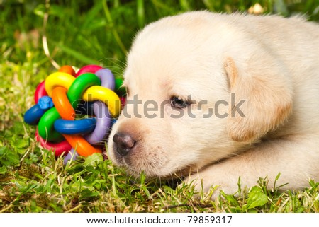 Cute labrador retriever puppy sitting on the grass
