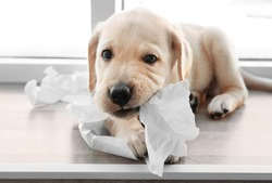 Cute labrador retriever puppy tearing paper while lying on window sill at home