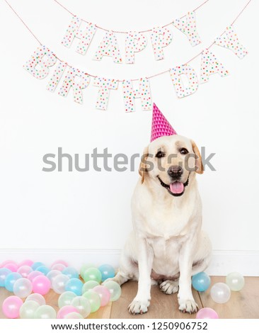 Cute Labrador Retriever with a party hat at a birthday party