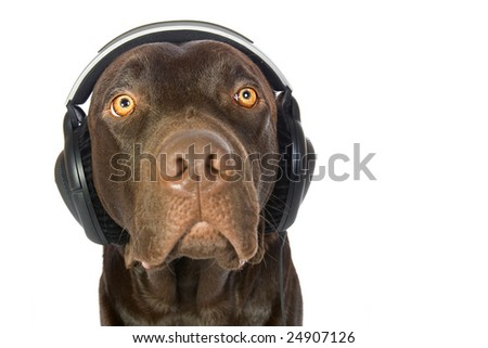 Cute Labrador with Headphones Lost in Music. Focus is on the Eyes.