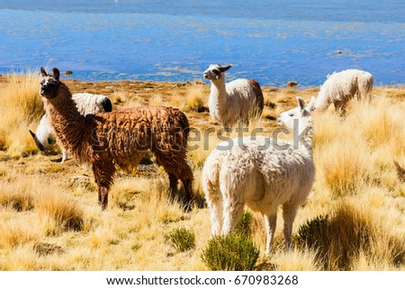 Cute lamas in the Altiplano of Bolivia #670983268