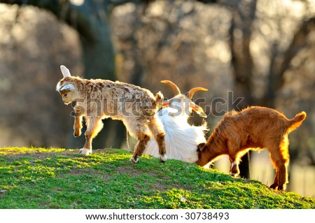 cute lamb and baby goat playing on field in spring - stock photo
