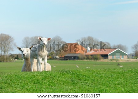 Cute lamb and mother sheep in spring, Friesland The Netherlands