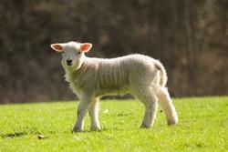Cute lamb in a meadow in spring
