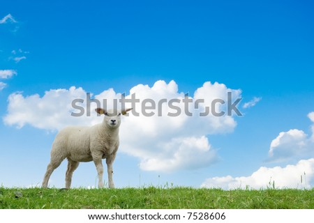 cute lamb on the grass in spring