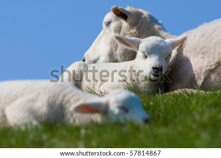 Cute lamb sleeping - stock photo
