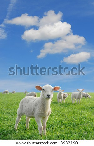 cute lambs in fresh green meadow on blue sky background with fleecy clouds to use as speech bubbles