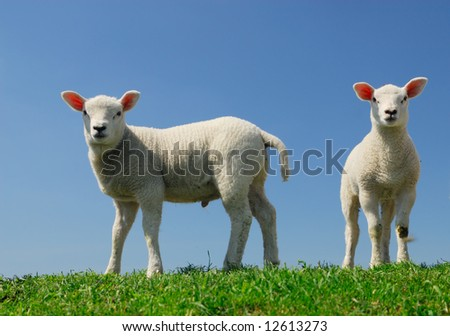 cute lambs in spring looking at the camera