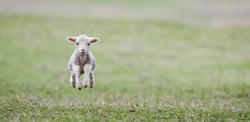 cute lambs on field in spring