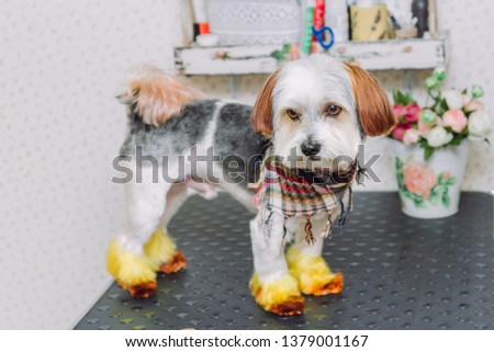Cute lap dog with a creative hairstyle after grooming on grooming table.