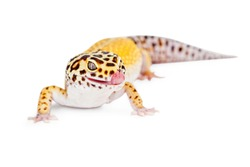 Cute Leopard gecko lizard with tongue out licking lips. Isolated on white.