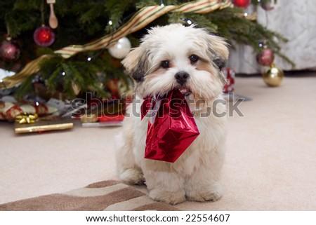 Cute lhasa apso puppy at Christmas