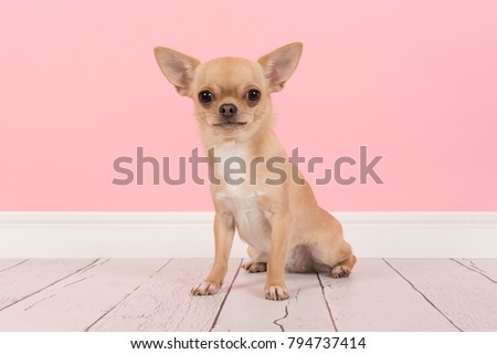 Cute light brown chihuahua dog sitting in a pink living room setting