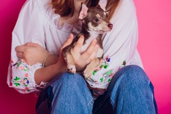Cute light brown chihuahua dog sitting in pink living room setting