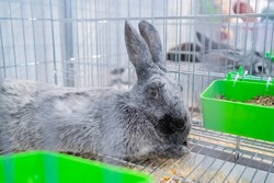 Cute light grey rabbit resting in the cage at agricultural animal exhibition, pet trade show, market - close up. Farming, agriculture industry, livestock and animal husbandry concept